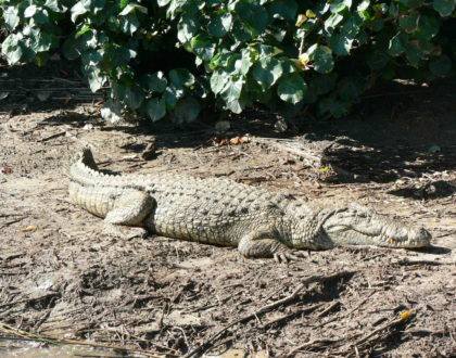 The Crocodile and other Reptiles