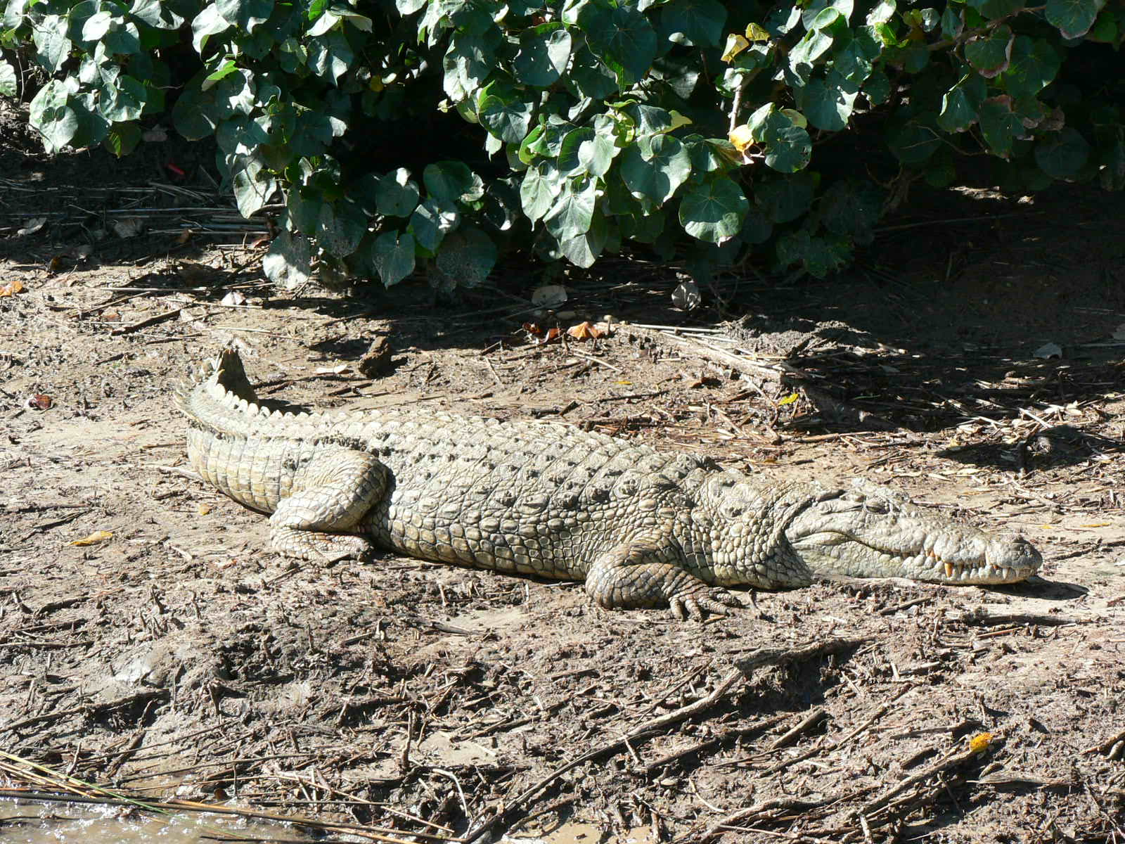 crocodile and other reptiles