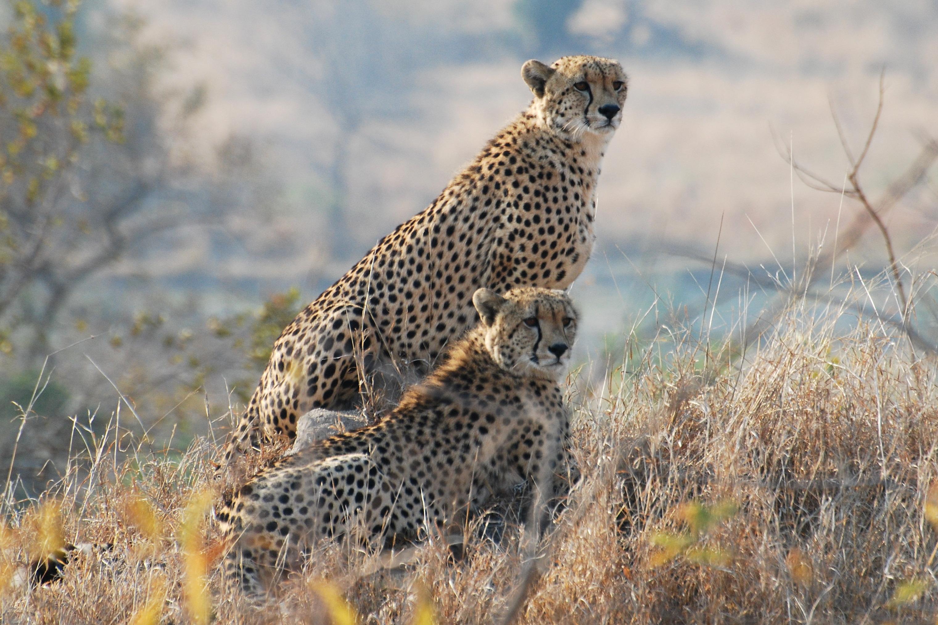 Southern Circle: Kruger National Park - Cheetah