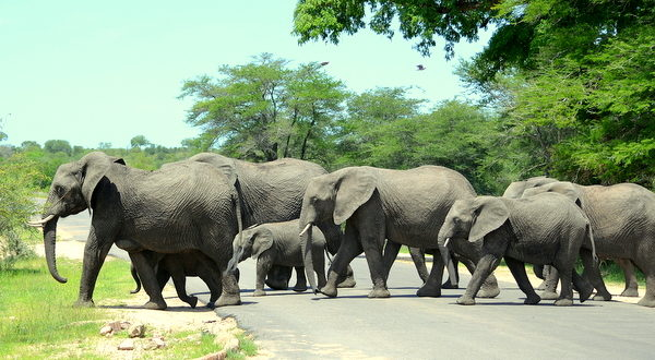 Beware-Elephants-crossing