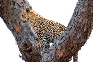 Leopard Sighting – Southern Kruger National Park – NHLAMBANYATHI HIDE