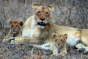 Lion on Safari