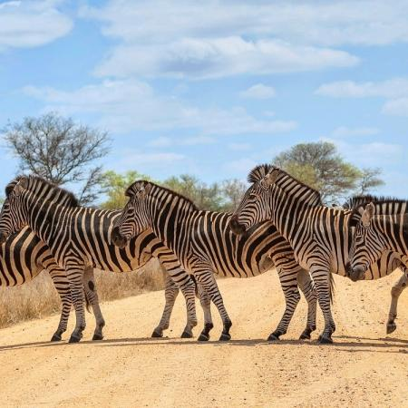 A-small-herd-of-Zebra-crossing-road-Kruger-National-Park-South-Africa-shutterstock_176114390