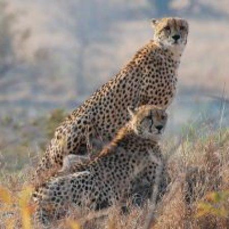 Cheetahs-300x201