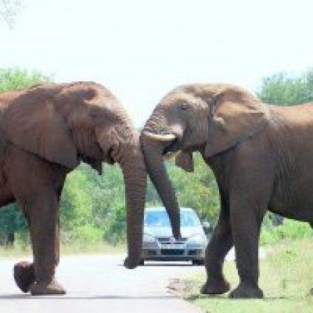 Elephant-pushing-300x200