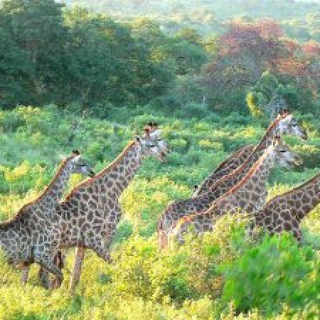 Giraffe-300x225