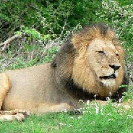 Lion in Kruger Park safari