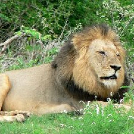 Lion-Resting-300x225