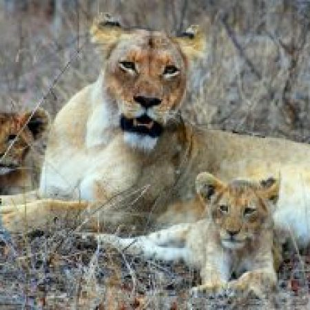 Loin-with-cubs-1-300x200