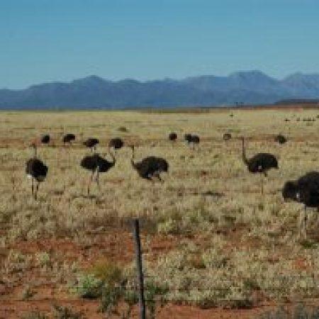 Ostrich-1-300x200