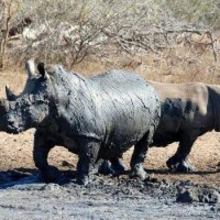 Rhino-Bathing-300x200