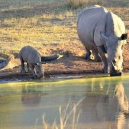 Rhino-and-Calf-1-300x169