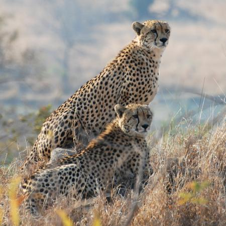 Southern Circle: Kruger National Park - Cheetah