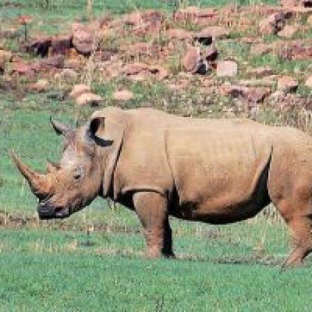 White-Rhino-300x200