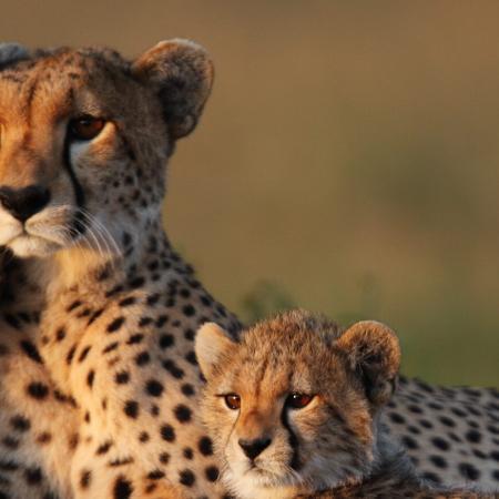 iStock_Wildlife_CheetahFamily