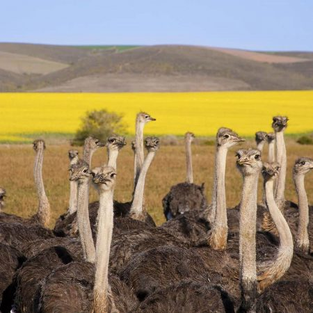ostrich-farm-5