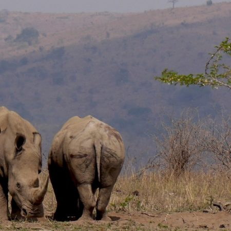 rhinos-south-africa-926930_1920_processed